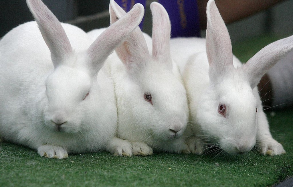 New Zealand Whites meat rabbits