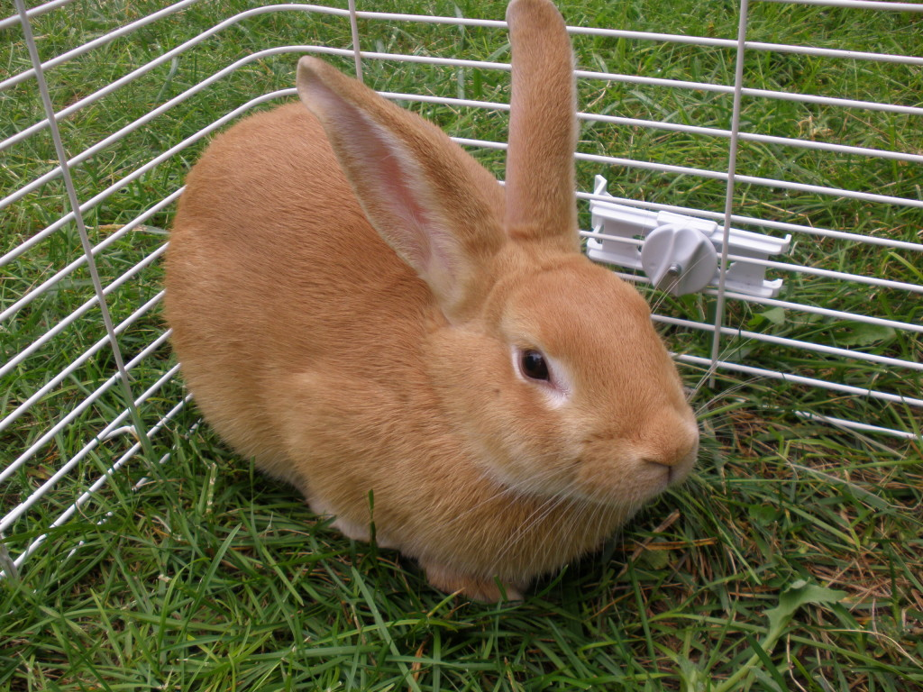 mini rabbit breeds