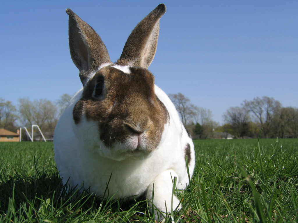 Rex Rabbit breeds