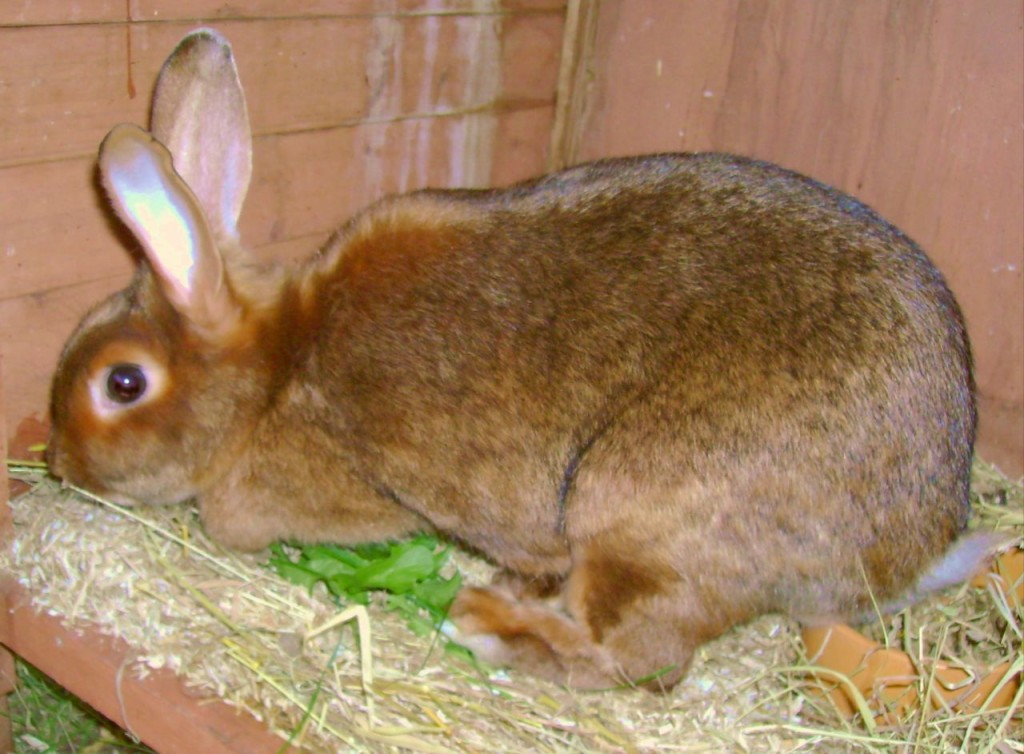 10 Best Meat Rabbit Breeds for Homesteads – The Self