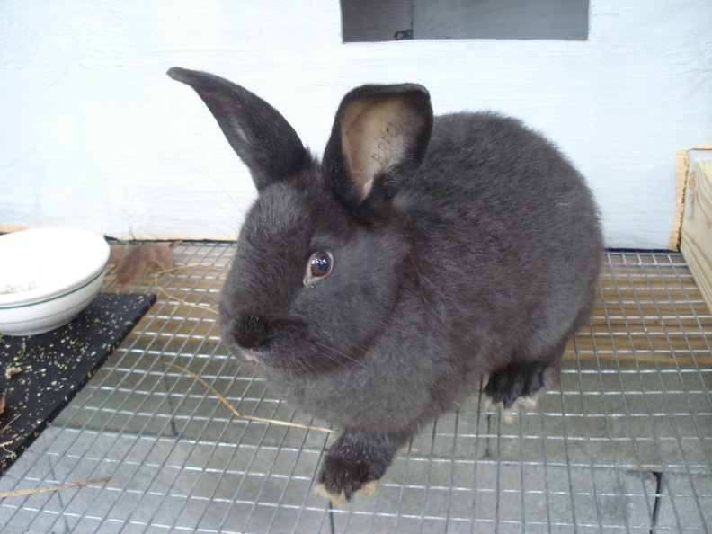 Silver Foxes rabbit breeds