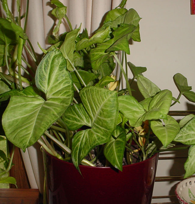 excellent long vine house plant. Arrowhead Vine 10 Best Low Light Houseplants That Are Easy To grow  The Self