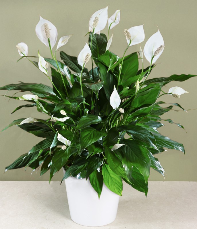 charming flowering houseplants for low light peace lily - Low Light Flowering House Plants