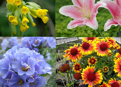 alluring and colorful flowers that are easy to grow for, Natural flower