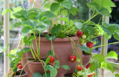 growing strawberries in pots