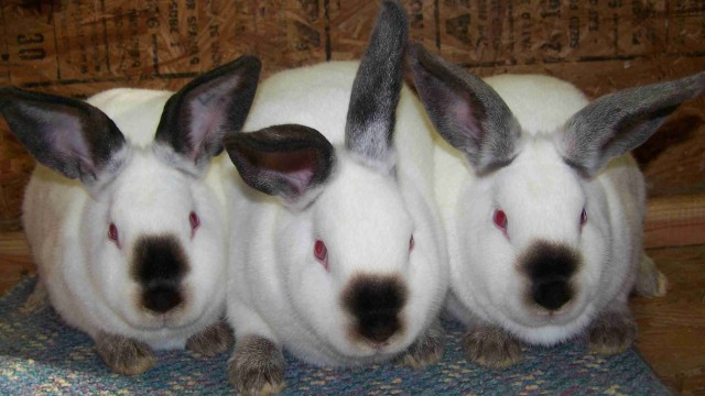 10 Helpful Tips On Raising Rabbits For Meat The Self Sufficient Living