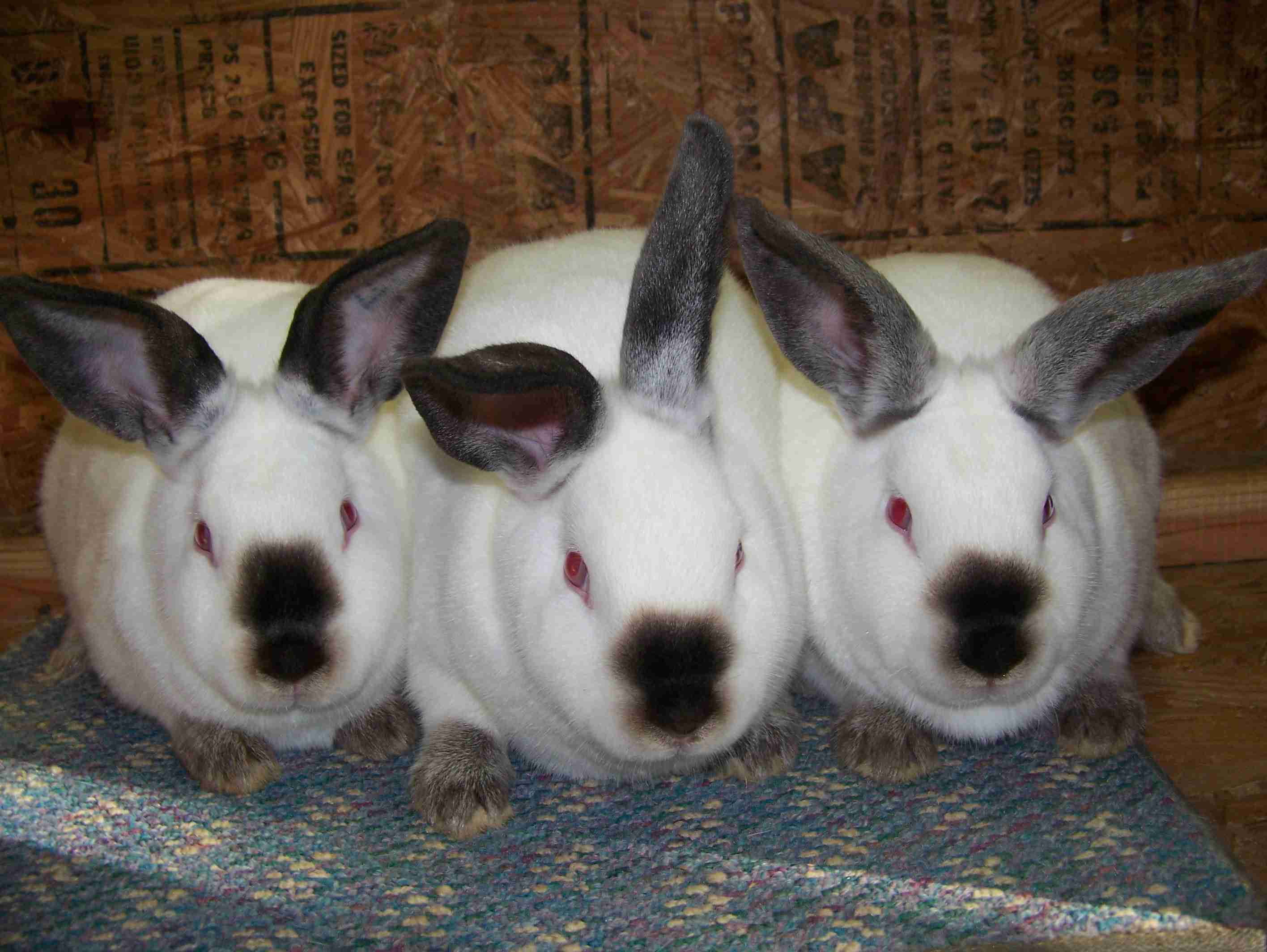 10 Helpful Tips on Raising Rabbits for Meat – The Self ...