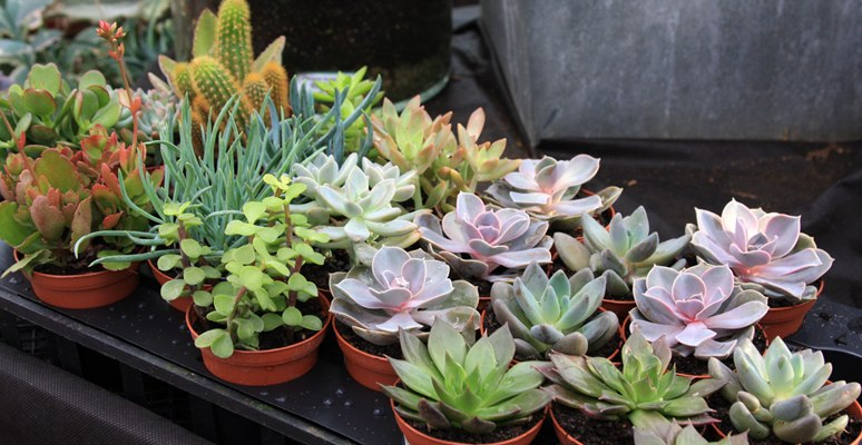 8 most common types of succulents plants for home the self sufficient living - Best succulents for indoors ...