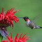 Ruby-throated Hummingbird (Archilochus colubris) - male at Bee Balm (Monarda)