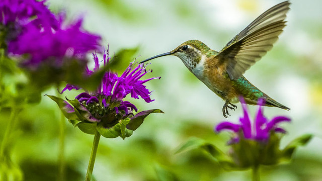 Bee Balm flowers for hummingbirds1