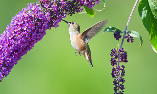 Butterfly Bush for hummingbirds