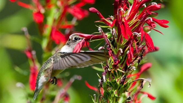 Cardinal Flower for hummingbirds