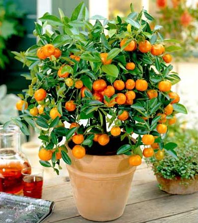 7 popular dwarf or miniature fruit trees for a limited - Fruit trees in small spaces decoration ...