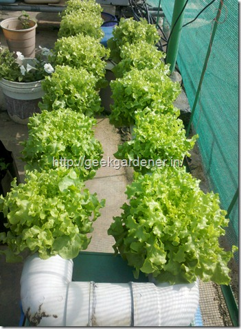 Hydroponic NFT Lettuce Production
