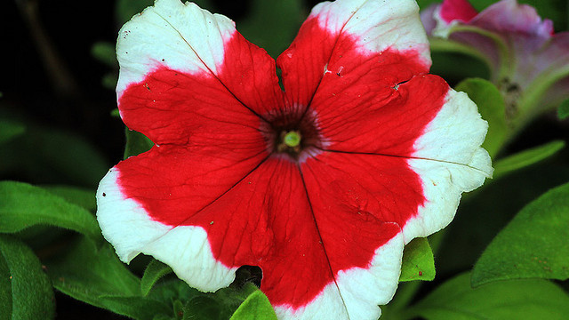 Petunia flower for hummingbirds