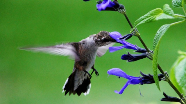 Salvia flower for hummingbirds