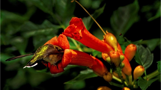 Trumpet Creeper for hummingbirds