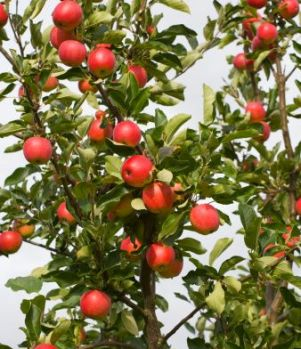 dwarf apple tree