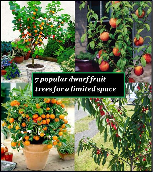 7 Popular Dwarf Or Miniature Fruit Trees For A Limited Space The