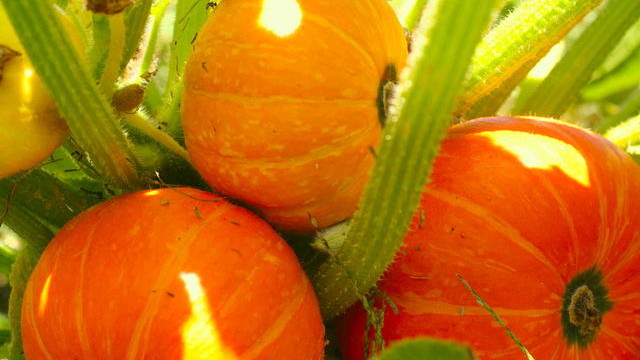 tips to growing pumpkins