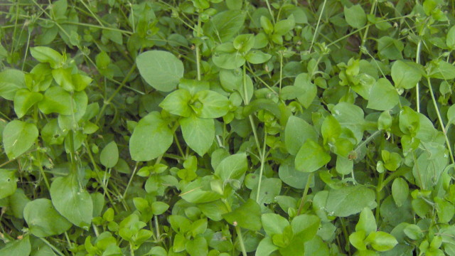 Chickweed identification
