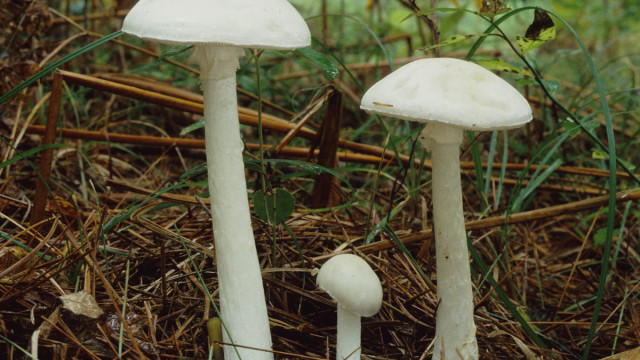Destroying angel