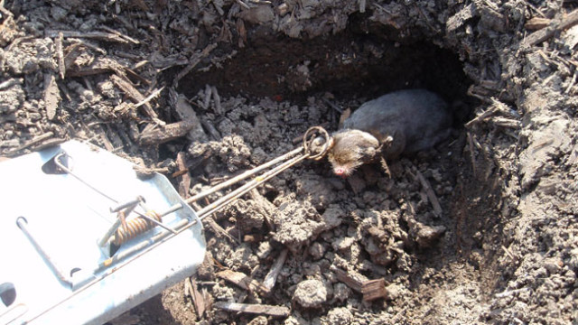 7 Effective Ways To Getting Rid Of Moles In The Yard The Self