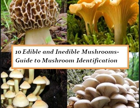 10 Edible And Poisonous Mushrooms Guide To Mushroom Identification