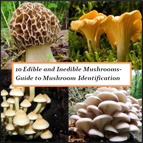 10 Edible and Poisonous Mushrooms-Guide to Mushroom ...