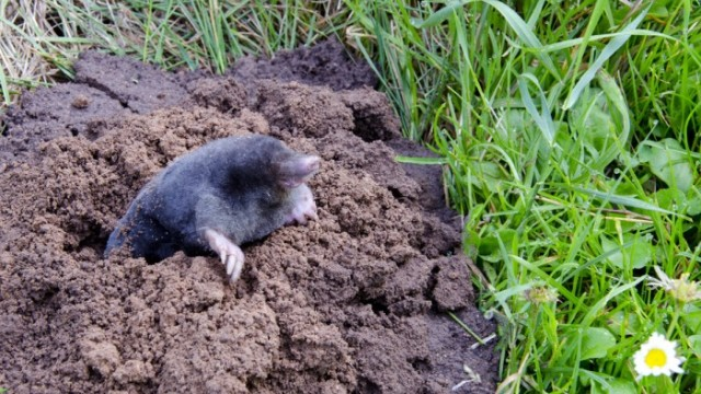 getting rid of moles