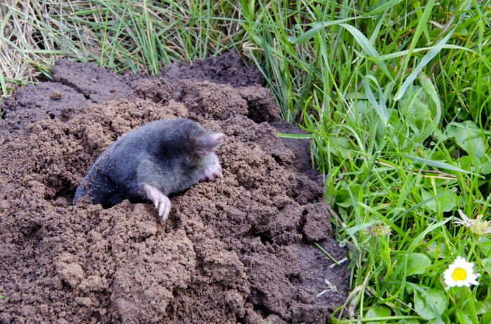 7 Effective Ways To Getting Rid Of Moles In The Yard