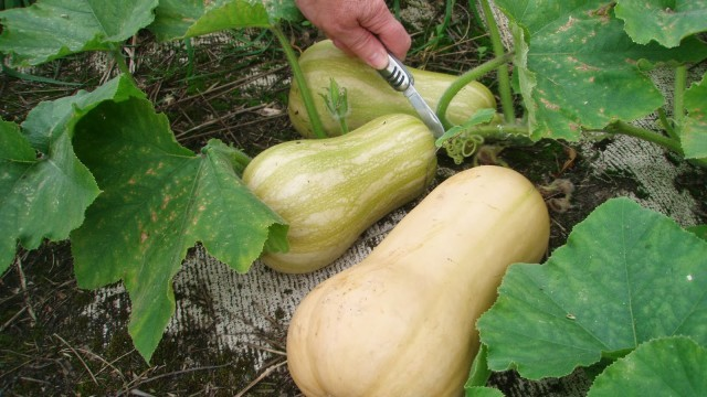 10 Useful Tips To Growing Squash Learn How To Grow Summer