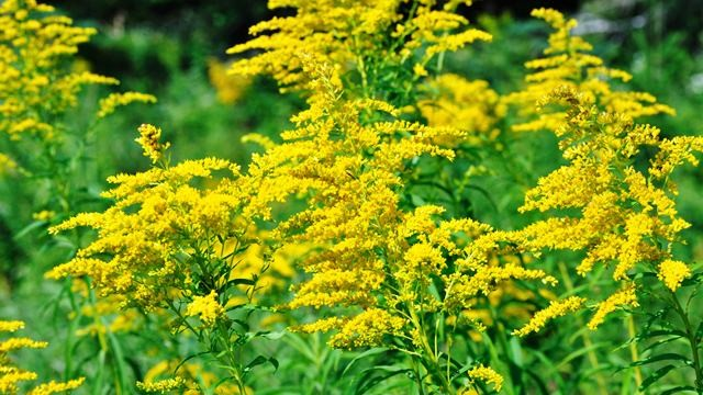 Goldenrod flower
