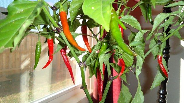 indoor Peppers