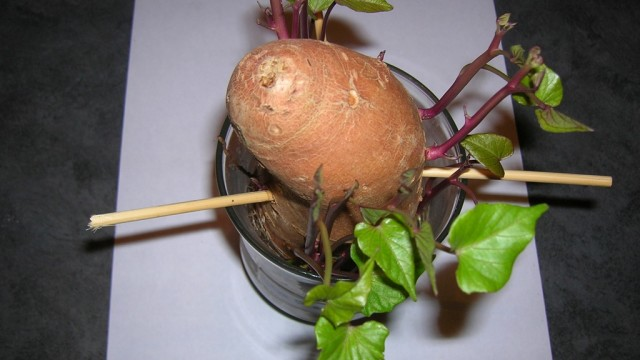 indoor Potatoes