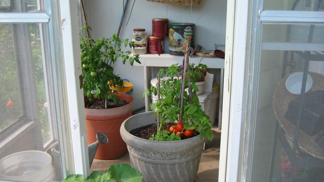 indoor Tomatoes
