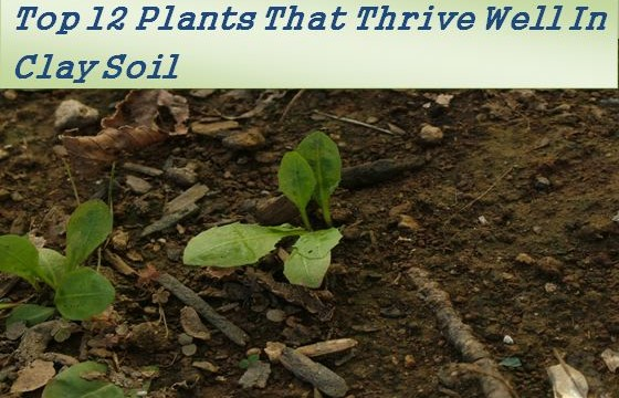 Top 12 plants that grow well in clay soil the self for Is soil living