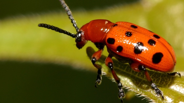Asparagus Beetle Control: 15 Garden Pests And Natural Ways To Control Them