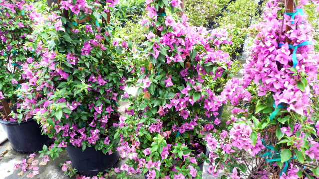 Bougainvillea flowering plants