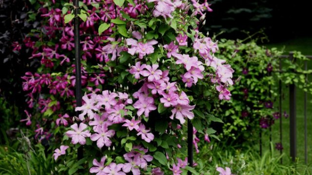 Clematis for arbor