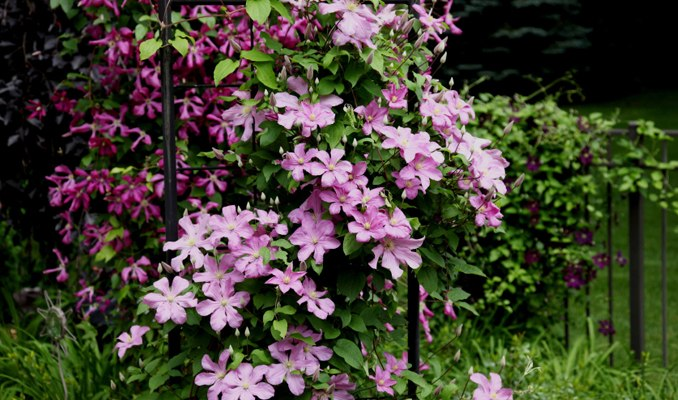 10 Best Flowering Vines For Trellis Arches Pergola And Arbors