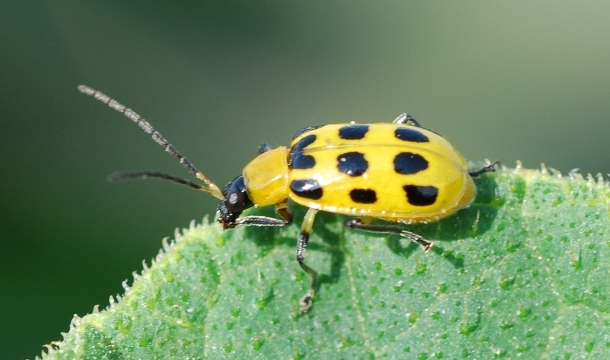 Cucumber beetles1