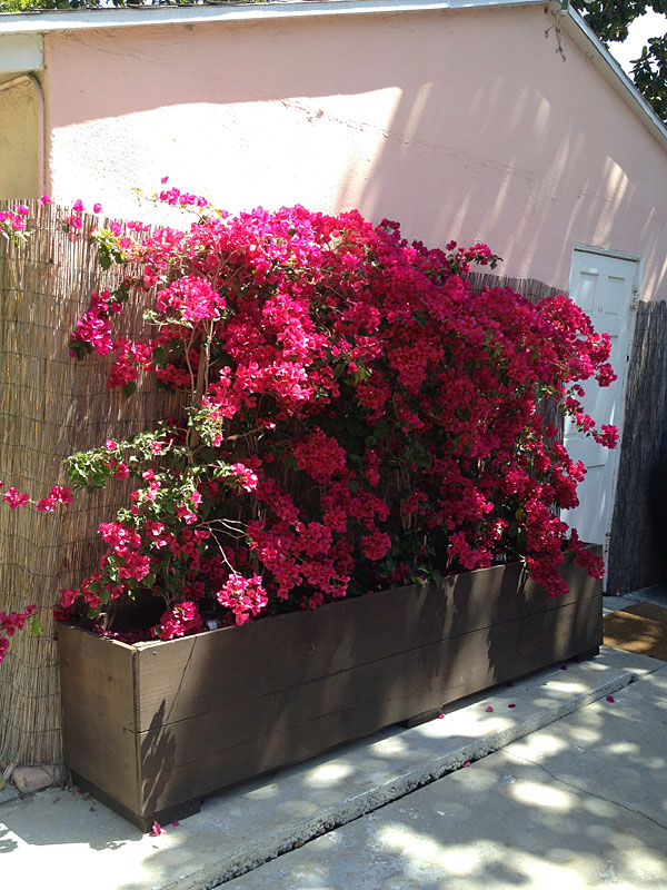 Custom Flower Planter for Bougainvillea