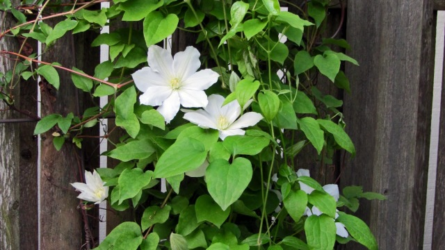 this flower is absolutely stunning with creamy color that is dark in the center and favorite among gardeners - Vining Flowers