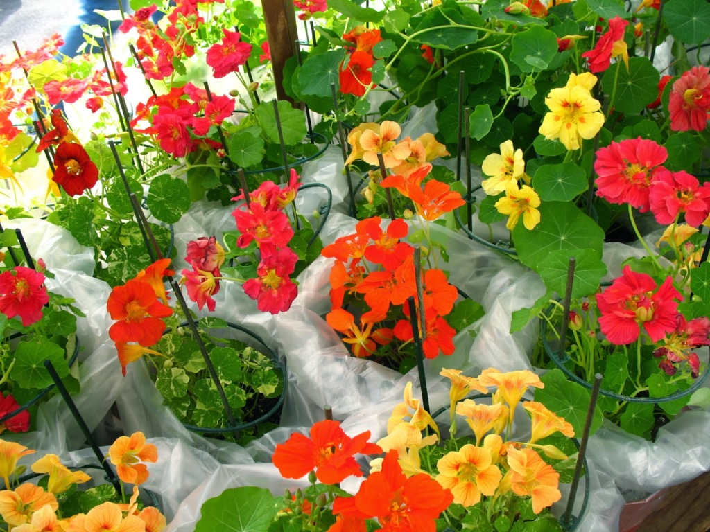 Jewel of Africa Nasturtium Seeds Vining Flowers