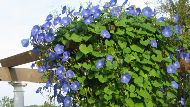 Morning Glory vine