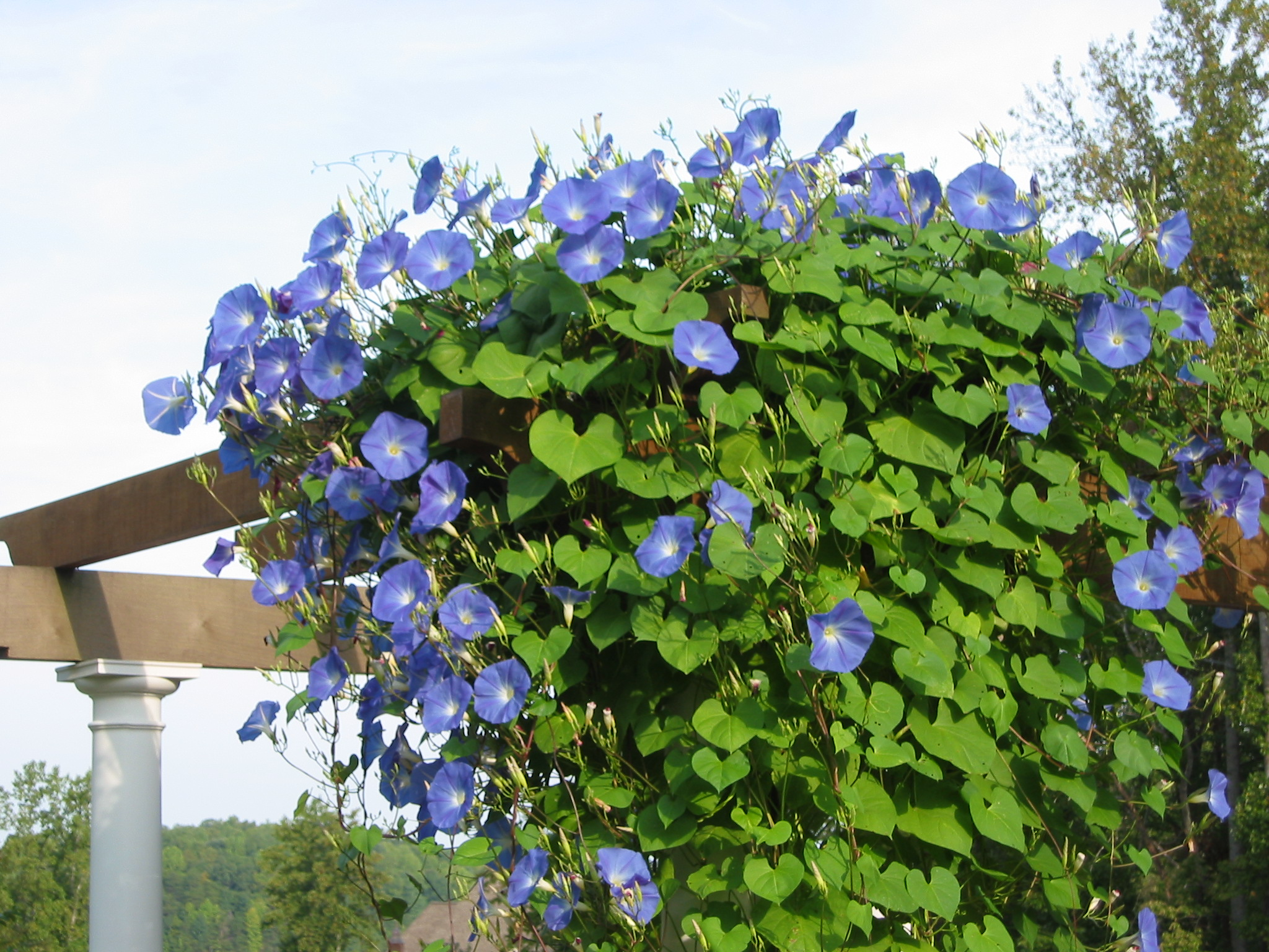 10 best flowering vines for arches pergola arbor and trellis the morning glory vine izmirmasajfo