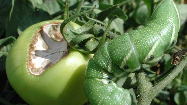 Tomato and tobacco hornworms