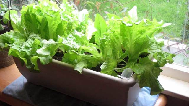 Tips for growing lettuce indoors in containers best types of lettuce the self sufficient living - Salads can grow pots eat fresh ...