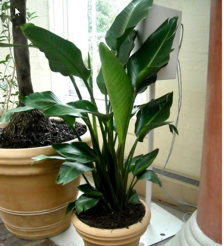 bird of paradise - Tall House Plants